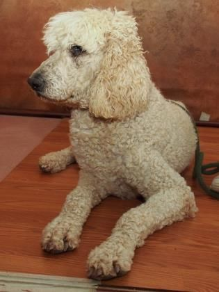 Adopt Marcello A Lovely 8 Years 3 Months Dog Available For