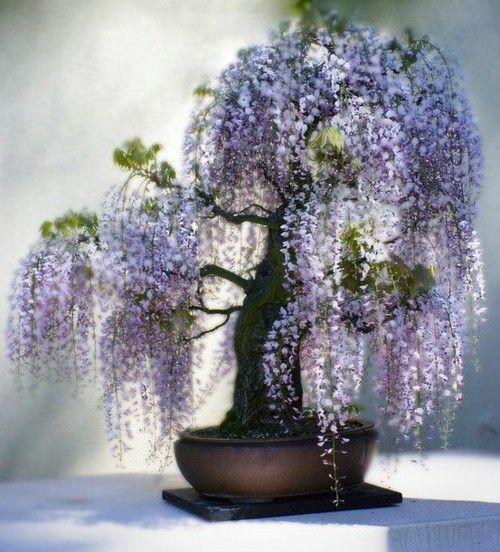 I love wisteria. This is so pretty. I wish I could do bonsai.