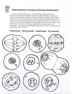 Phases Of Mitosis Activity Worksheet With Images Mitosis
