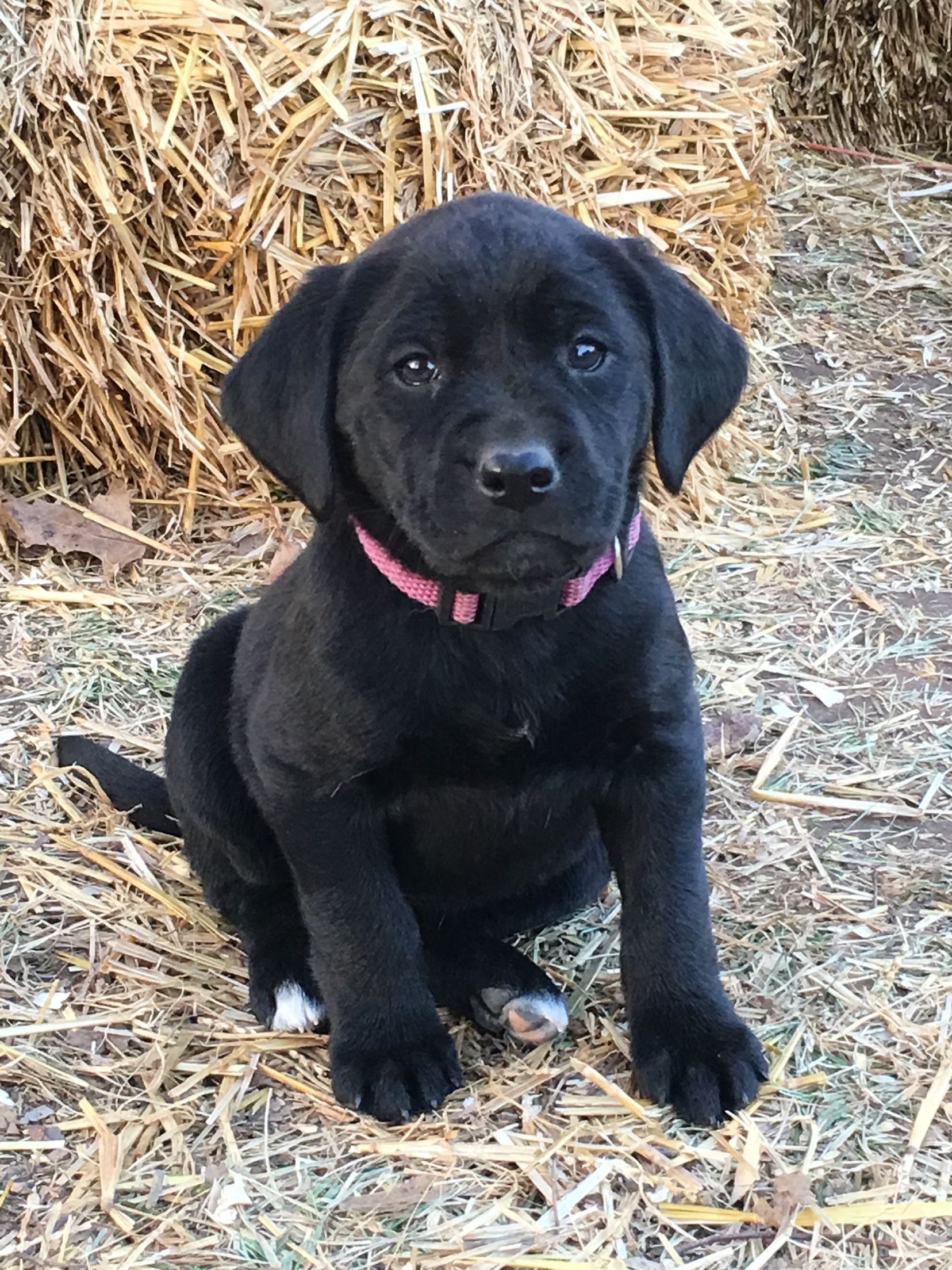 Black labrador retriever from windy hill labradors in