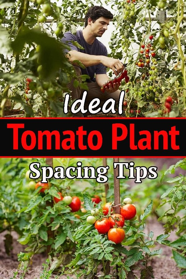 Ideal Tomato Plant Spacing Tips Every Tomato Grower Should Read Tomato Plants Plant Spacing Tomato Growers