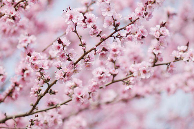 Customer Favorite Cherry Ilford Lead The Good Life Flowering Cherry Tree Cherry Tree Weeping Cherry Tree