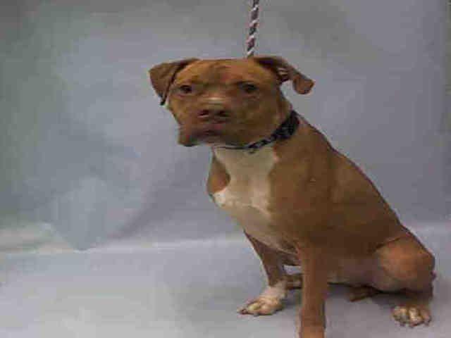 Razor Aka Tab A1057428 Pet Adoption Boxer Mix Animal Shelter
