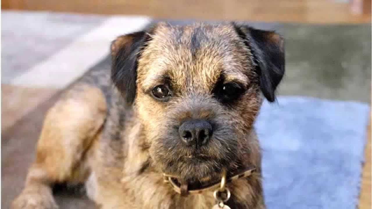 Top 10 Amazing Facts About Border Terriers   Pet Aid   Pinterest ...   Border Terriers For Sale In Barnsley