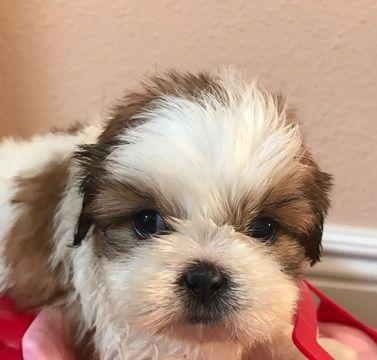 Shih Tzu Puppy For Sale In Chariton Ia Adn 48281 On Puppyfinder