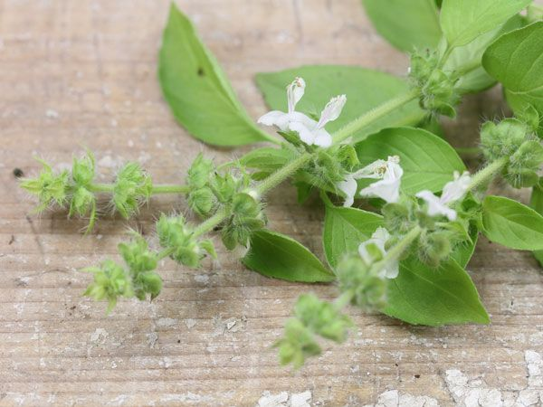 Gardens · Basil Seeds LIME | Baker Creek Heirloom Seed Co. From Thailand  With Great Reviews.