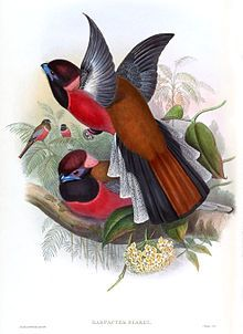 Diard's Trogon - Wikipedia, the free encyclopedia