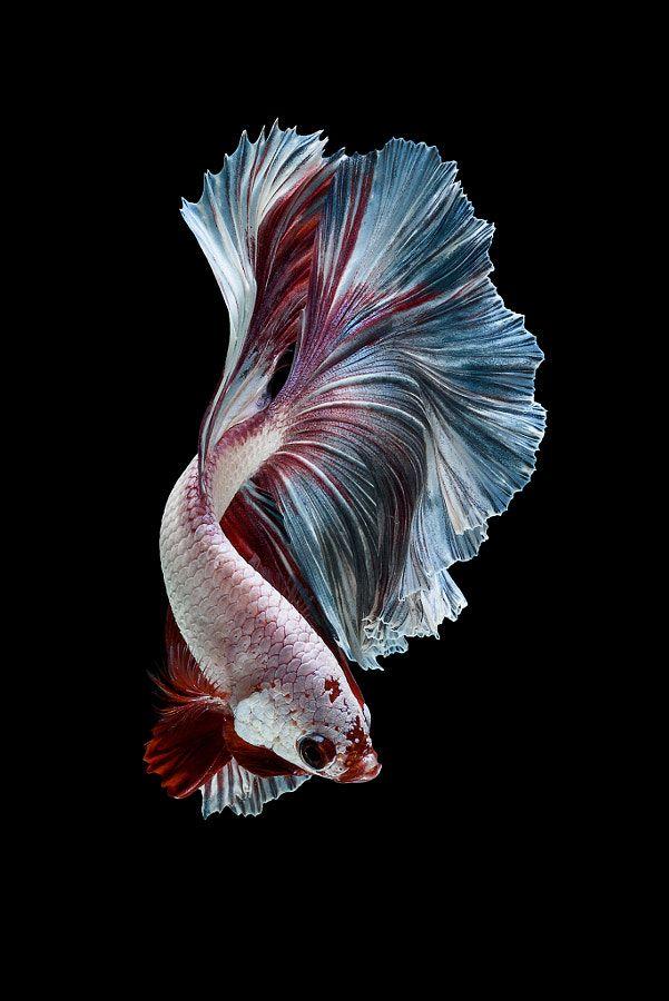Bℓaꮳƙ ɓackgyasyh Fish Drawings Betta Fish Types Fish Wallpaper Betta fish wallpaper gif betta fish my