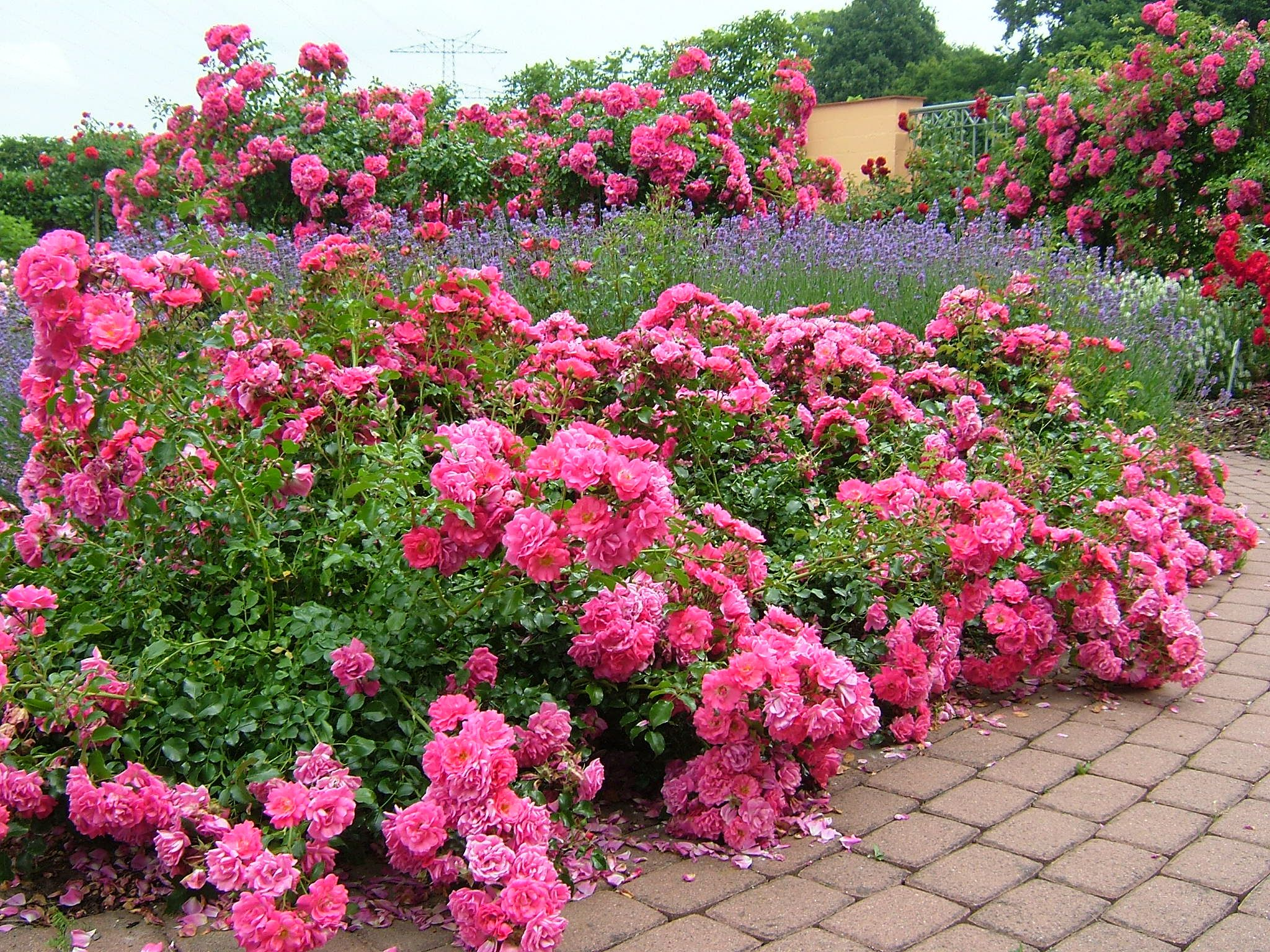 Flower Carpet Pink Groundcover Rose With Lavender Along Walkway The