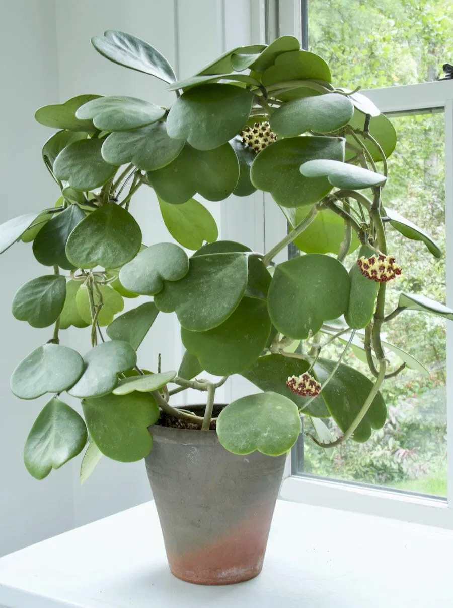 Finding Refuge In Our Gardens And Hope In A Hoya With Ken Druse Hoya Plants Fragrant Plant House Plants