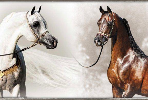 mobile.dudasite.com site arabiansltd?url=http%3A%2F%2Farabiansltd.com%2Fegyptian-arabian-stallions%2Fthee-desperado&dm_redirected=true