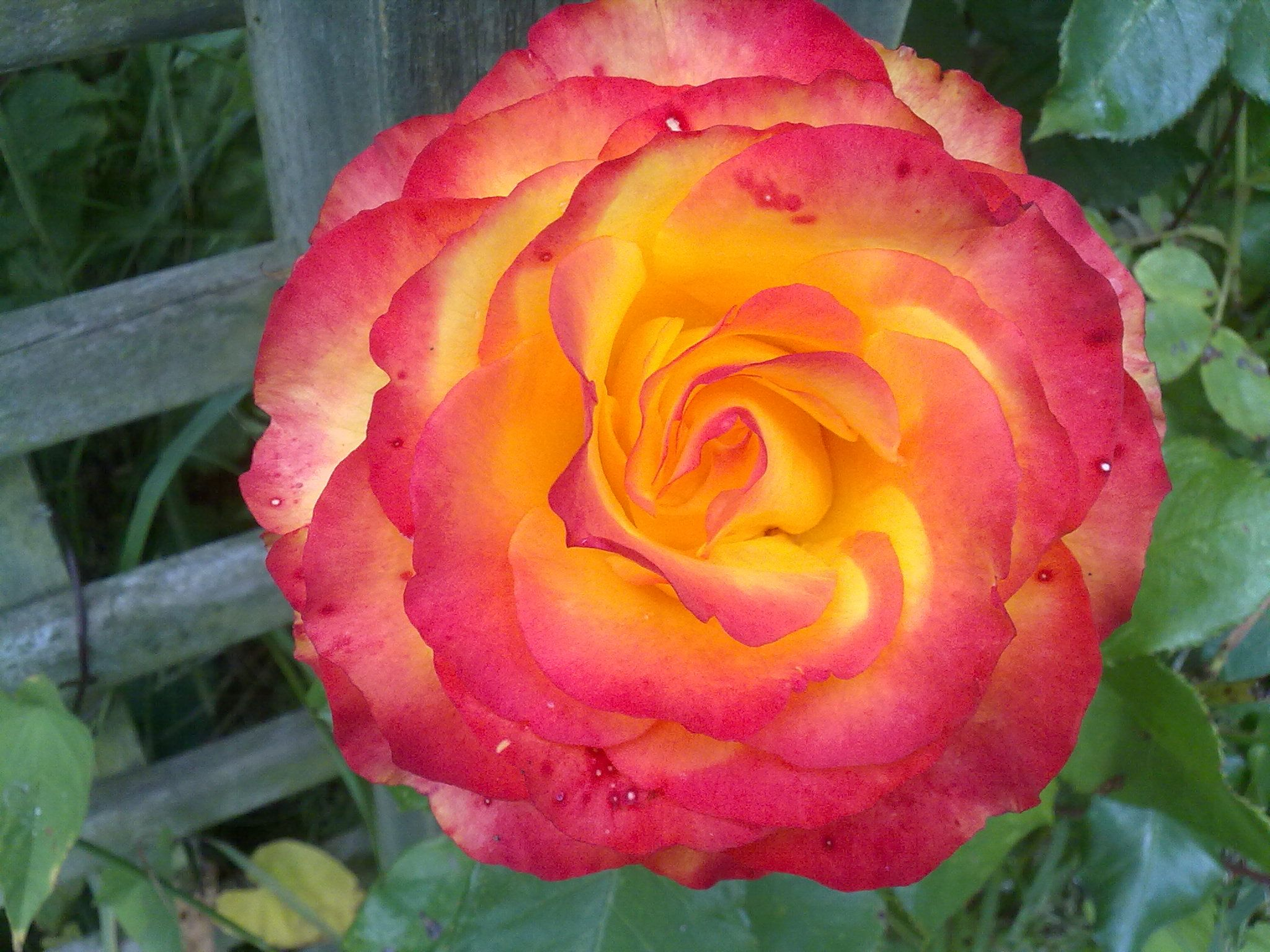 Orangered Rose Orange Pink Roses Old Fashioned Orange Pink