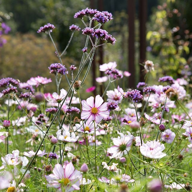A spectacular blend of cosmos and verbena spotted at ...