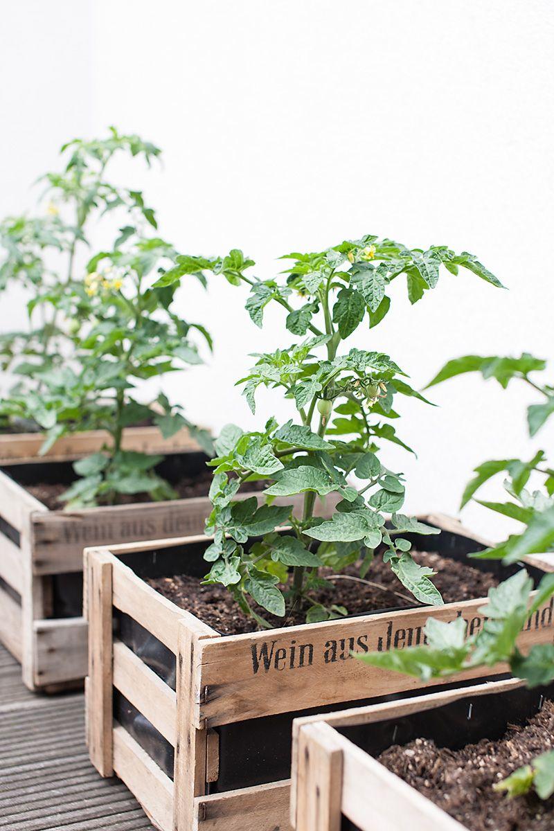 Tomaten in schönen Weinkisten pflanzen. Die Kisten rund um mit