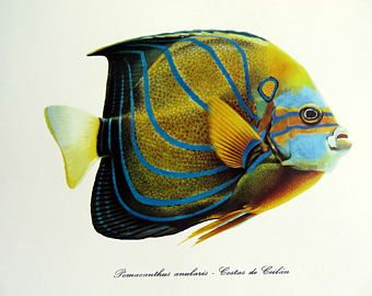1975 Vintage blue ring angelfish lithograph print, antique FISH color lengraving, sea life fishes color engraving, marine animal plate.