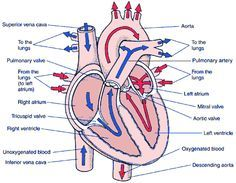 diagram of blood flow – citybeauty, Muscles