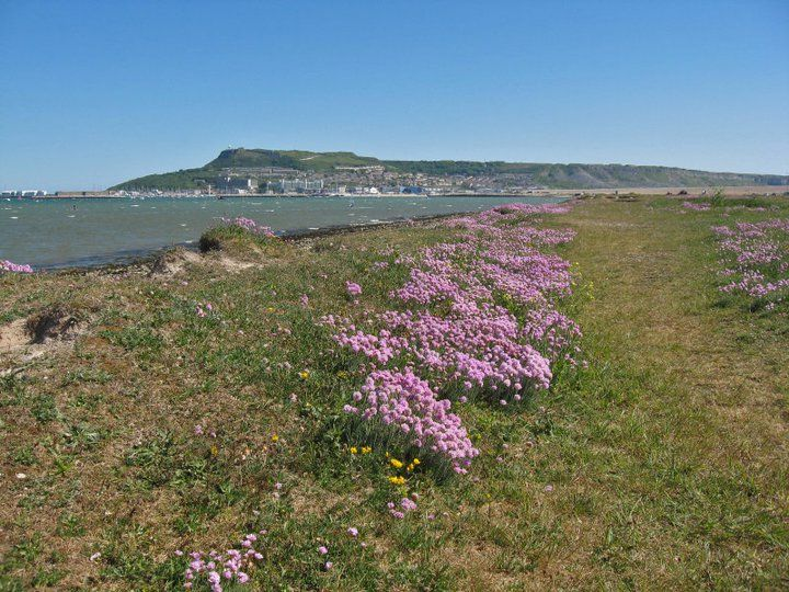 Portland from the Fleet, Chesil Beach. Beautiful pink sea thrift in the foreground.