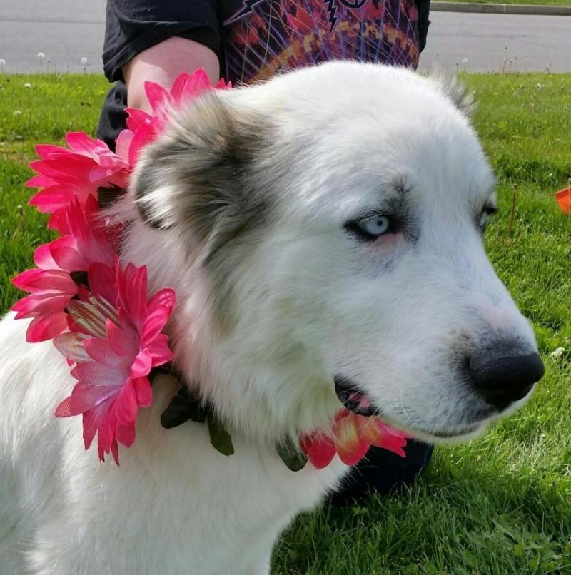 Adopt Bianca on Great pyrenees dog, Husky mix, Great