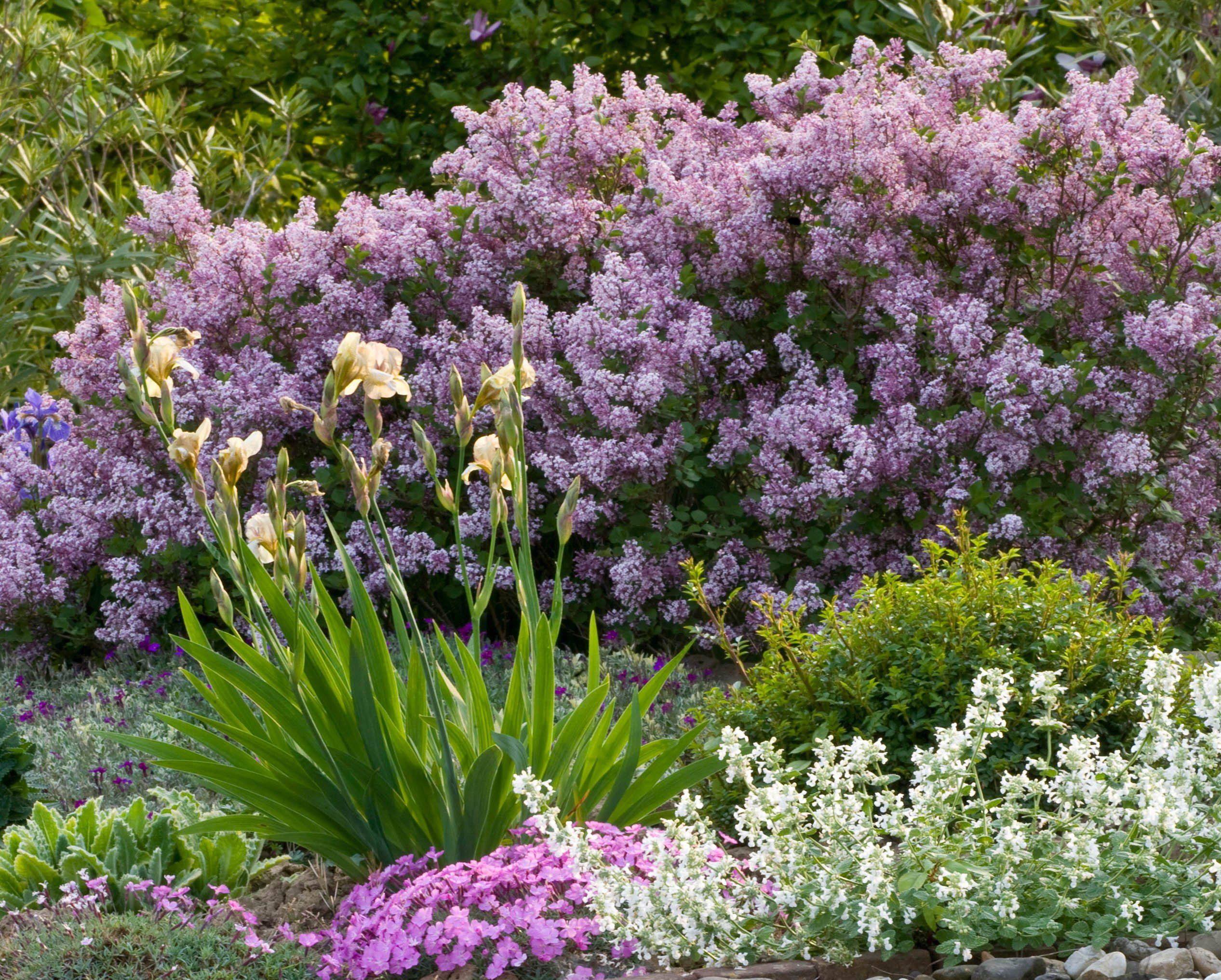 Dwarf Korean Lilac | Garden shrubs, Dwarf lilac, Lilac bushes