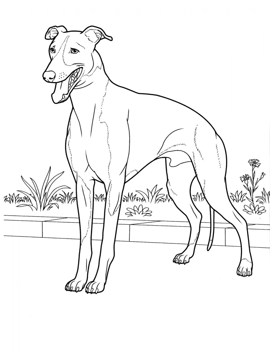 Perro de raza Galgo | Dibujo | Dog coloring page, Coloring pages y