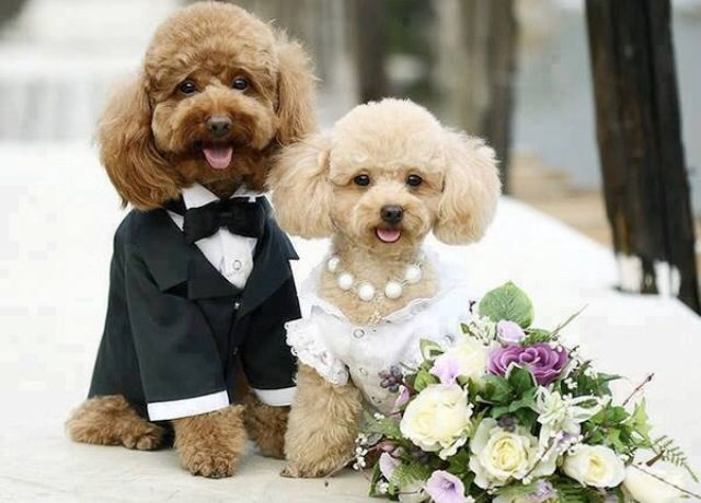 Dogs dressed as bride and groom | Dogs in costumes | Pinterest | Dog ...