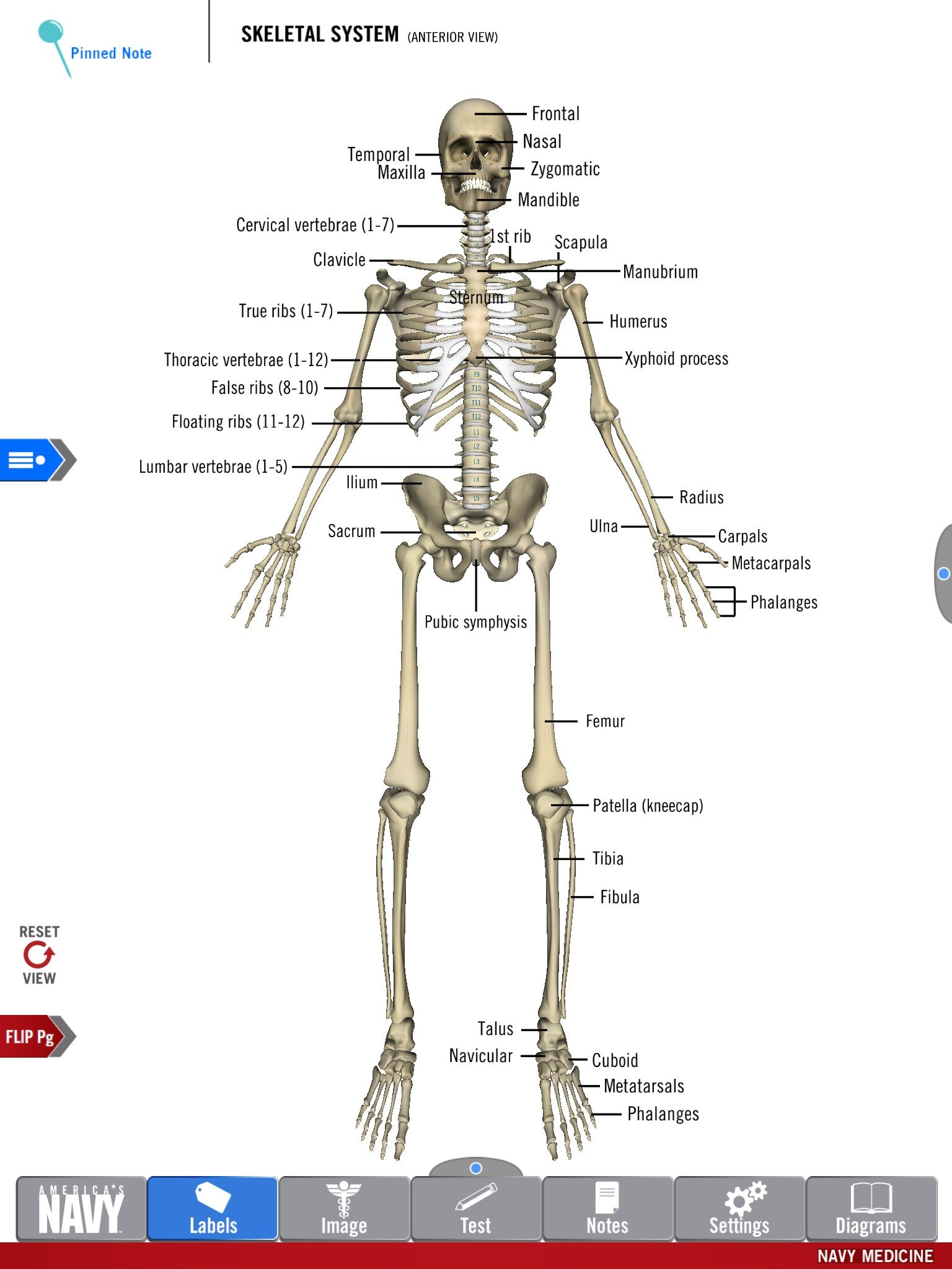 diagram of the skeletal system from the free anatomy study guide