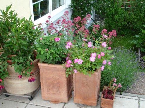 welche rosen eignen sich zur k belhaltung auf der terrasse und wie gro die k bel dann seite. Black Bedroom Furniture Sets. Home Design Ideas