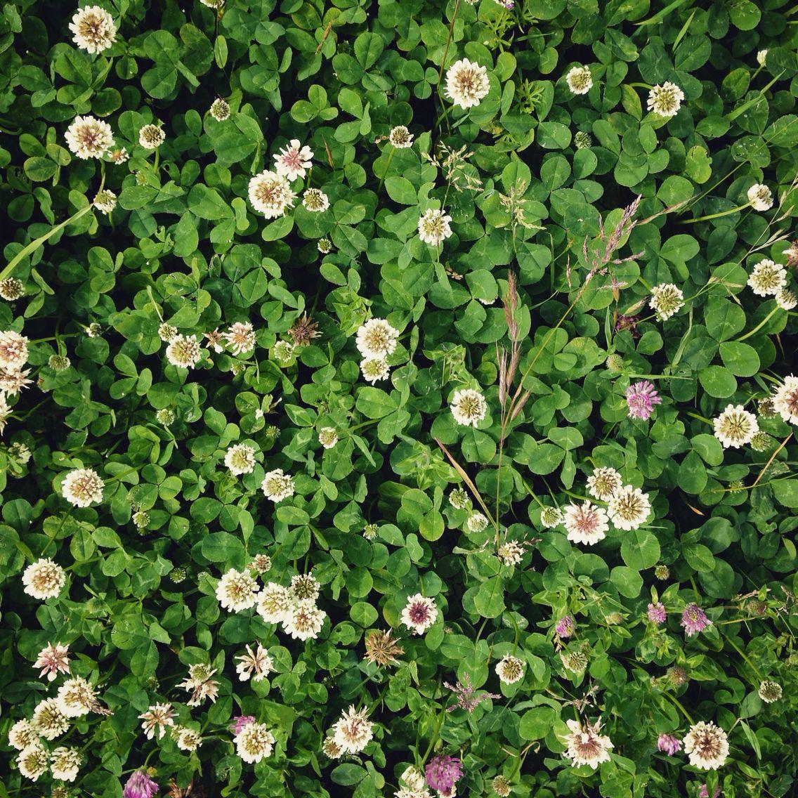 The clover is in full summer flower clover flowers fields the clover is in full summer flower clover flowers fields nature mightylinksfo