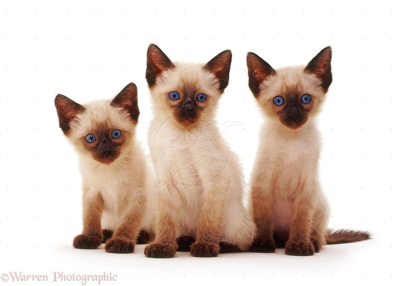 siamese cats WP Three Siamese kittens sitting