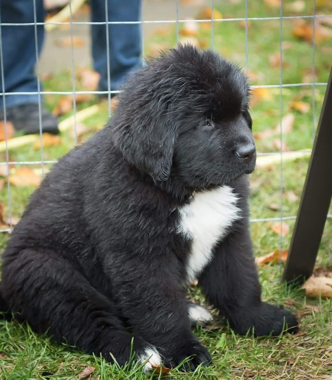 Newfoundland pup is a unit! aww (With images) Dog