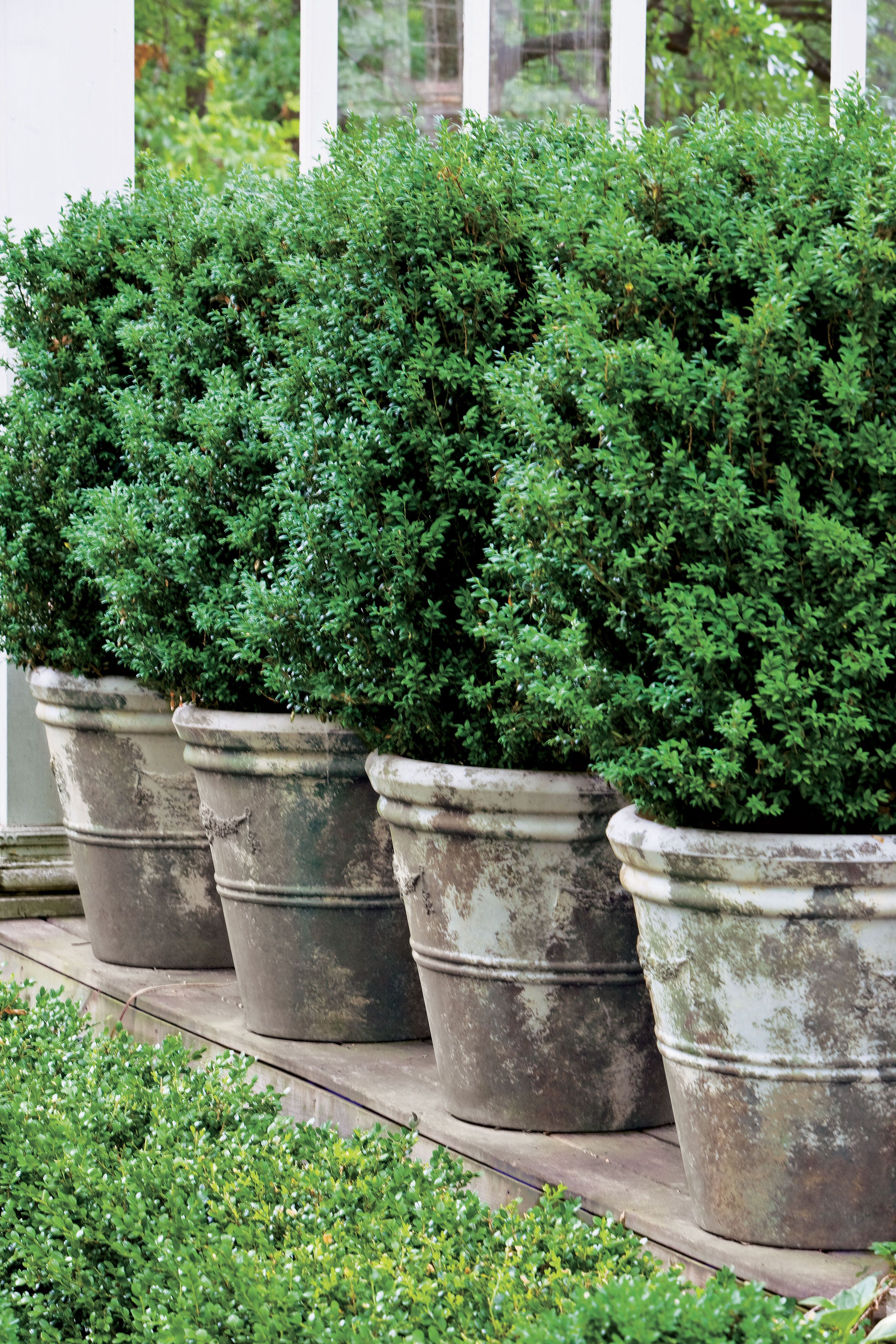 Boxwoods Perfect For Pots Boxwood Landscaping Backyard 400 x 300
