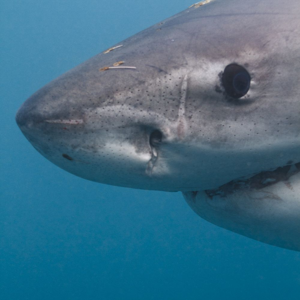 the great white shark smiles for the camera great shot by harry