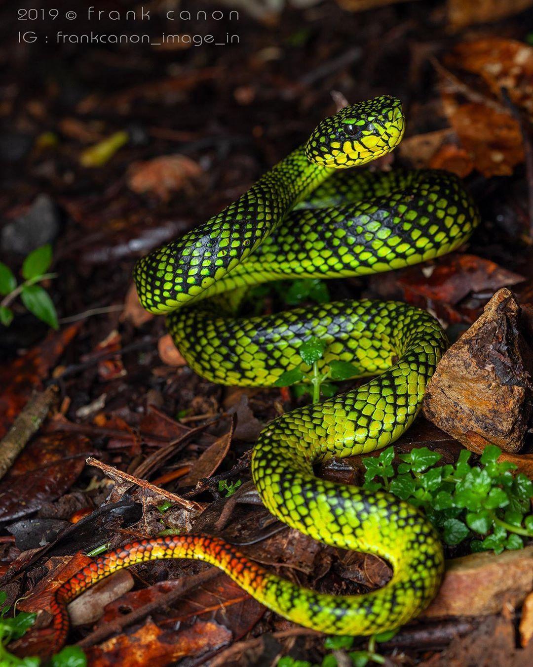 Frank Canon On Instagram Malcolm S Pit Viper Trimeresurus Malcolmi Borneo 2019 Copyright Frank Canon Reptile Snake Serpent Vipere Viper Serpientes