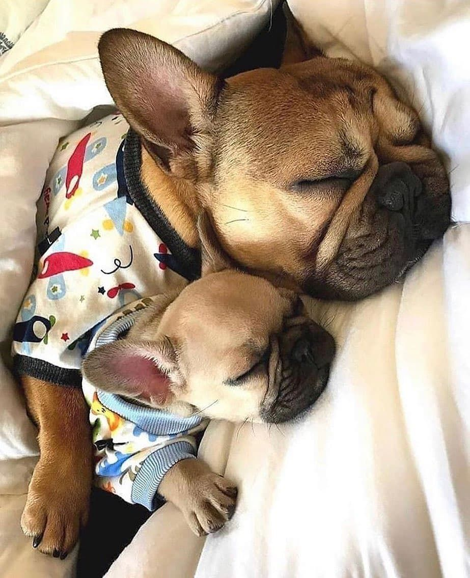 Pin By Laura Earle On Cuteness In 2020 French Bulldog Puppies