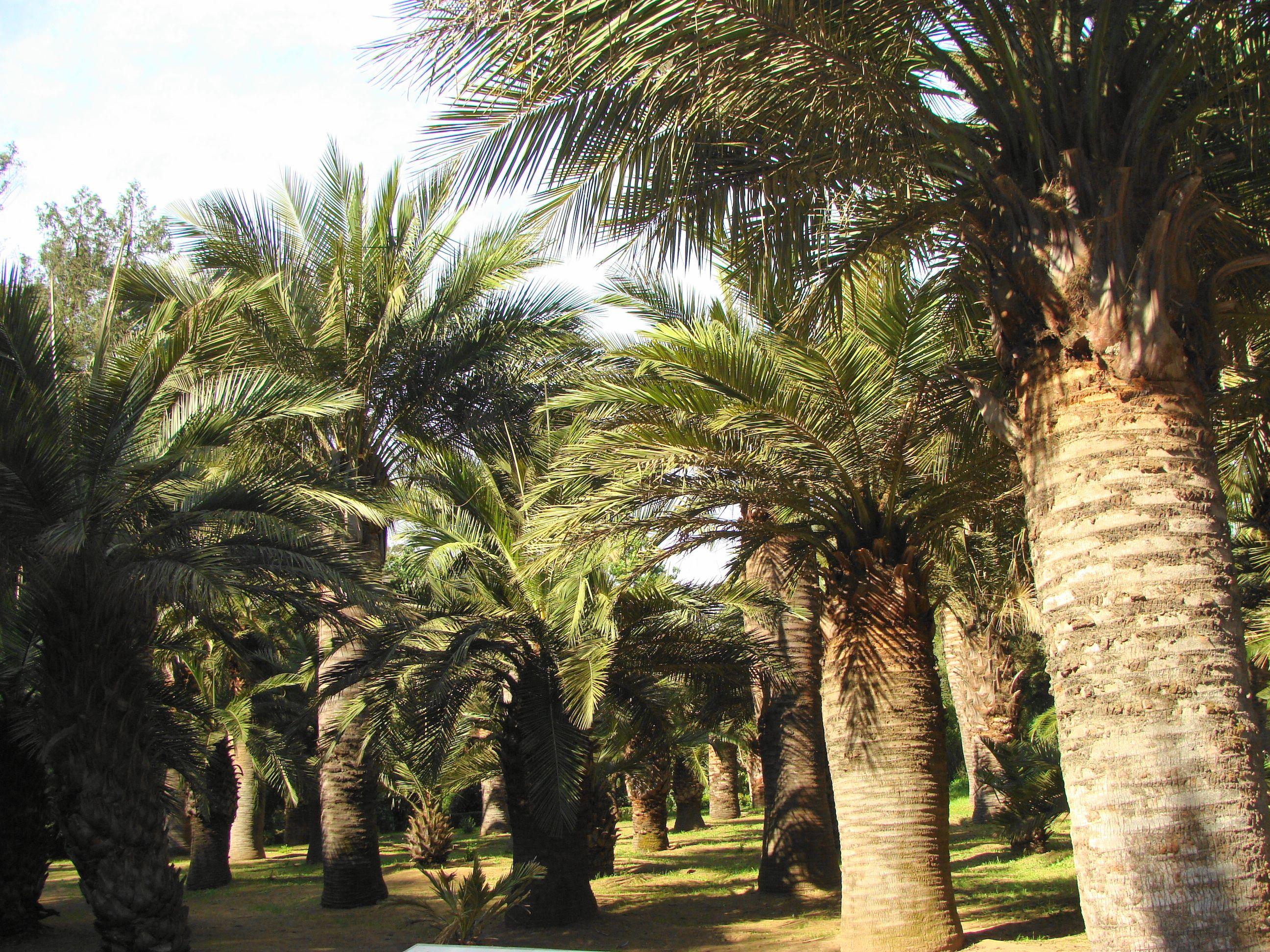 Palma chilena jubae chilensis plantaci n efectuada en for Jardin botanico vina