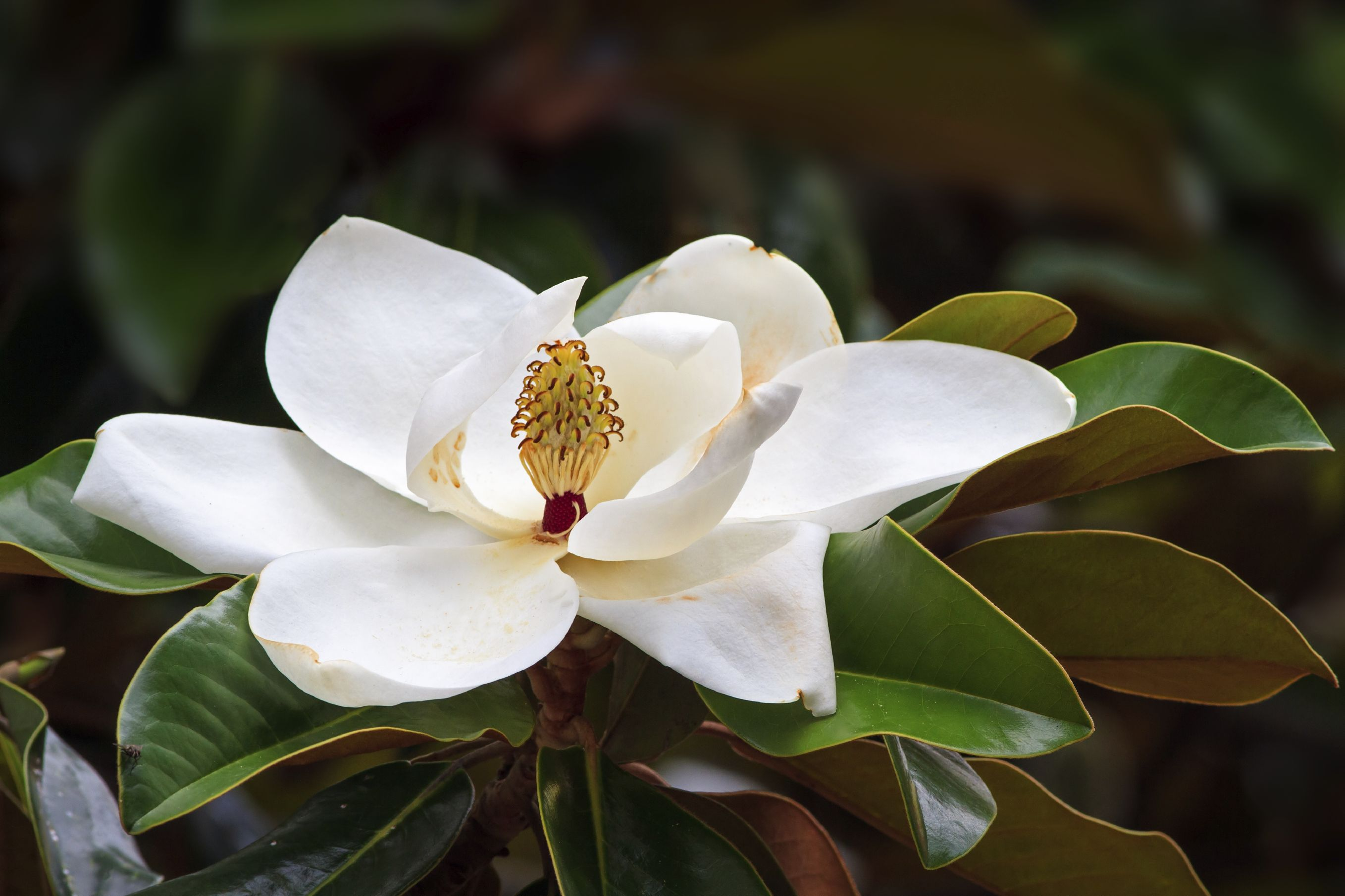 Magnolia Trees Facts And Care With Images Magnolia Tree Types Magnolia Flower Southern Magnolia
