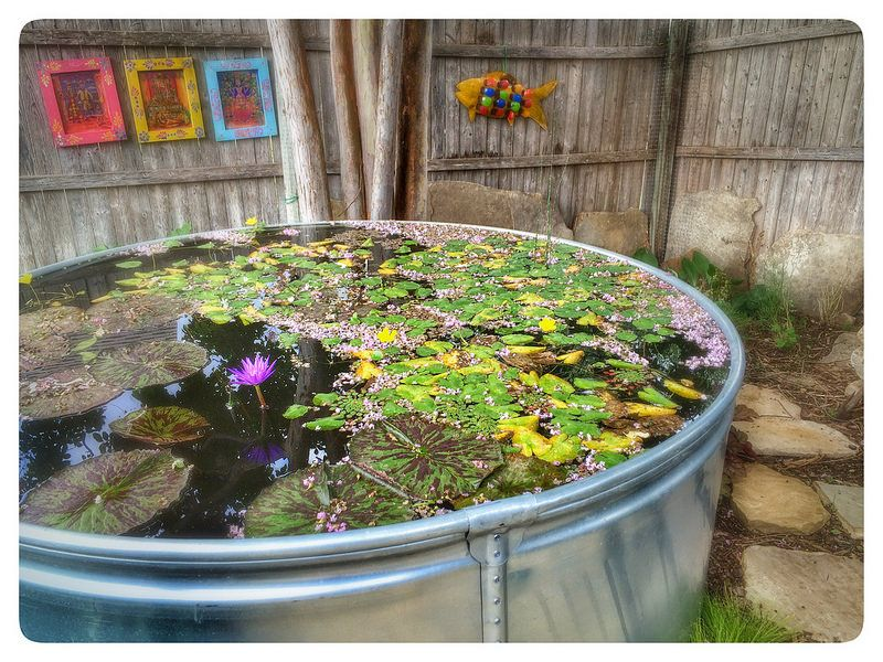 Water Garden Backyard Fort Worth Texas Lawn Lilly Stock Tank ...