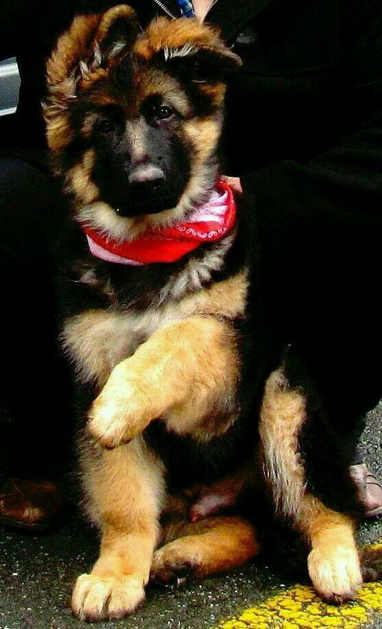 Gsd Puppy My New Lil Farm German Shepherd Dogs German