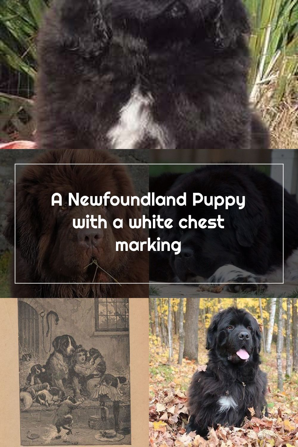 Pin On Newfoundland Dogs