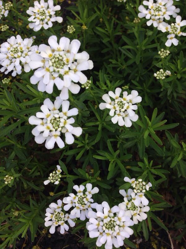 Candytuft Iberis Sempervirens The White Flower Is A Candytuft It Grows 1 Ft Tall And Wider Flowering Through Sprin Rock Garden Sempervirens White Flowers
