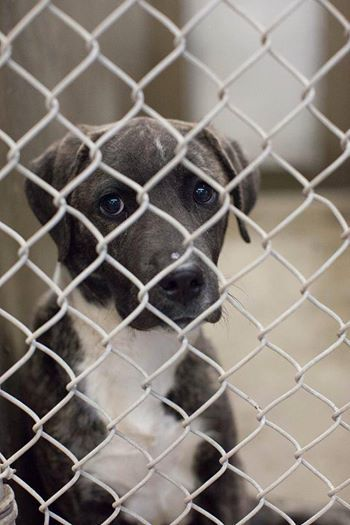 THIS GIRL IS STUNNING!! VERY PRETTY AND UNIQUE COLORING AND MARKINGS! Lab/Catahoula mix female less than a year old.  Kennel A26. Available NOW 3/21!! **$51 to adopt. PLEASE GO NOW IF YOU ARE INTERESTED IN FOSTERING OR ADOPTING!  Located at Odessa, Texas Animal Control. https://www.facebook.com/speakingupforthosewhocant/photos/a.573572332667009.1073741829.248355401855372/746709972019910/?type=1&theater