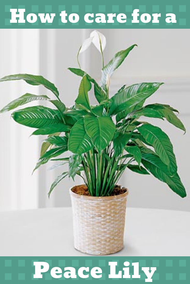 How to care for a Peace Lily #easyhouseplants | Peace lily