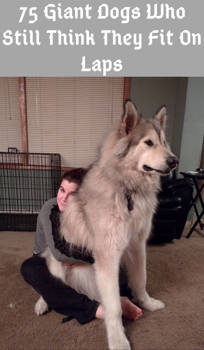 75 dogs who have no concept how big they are in 2020 | Husky wolf mix,  Alaskan husky, Wolf dog