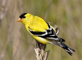 American Goldfinch - The state bird of New Jersey, Iowa, and Washington. - In Spring males are brilliant yellow and shiny black with a bit of white. Females and all winter birds are more dull but identifiable by their conical bill; pointed, notched tail; wingbars; and lack of streaking.