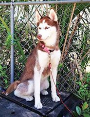 Lost Dark Red White Siberian Husky In West Tampa Florida