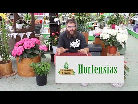 Cuidados hortensia plantas en casa hortensias cuidado - Hortensias cuidados poda ...