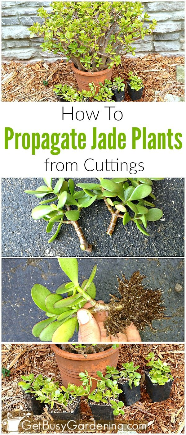 How To Propagate Jade Plant Cuttings Collin County Pinterest