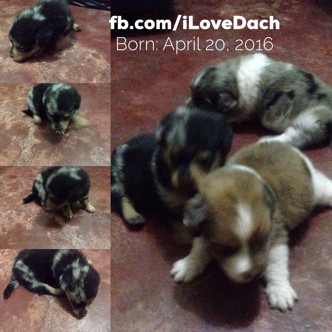 For Sale Dachshund Puppies Location Butuan City For Inquiries