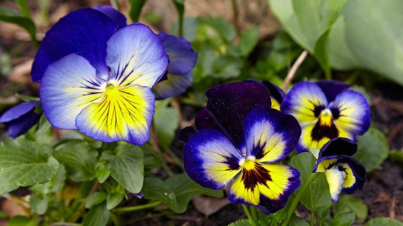 How To Grow Pansies Pansies Plants Large Flowers