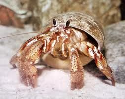 hermit crabs - Google Search